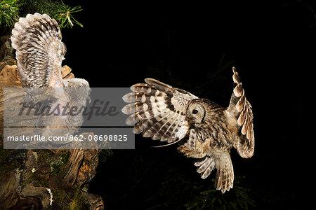 Tawny owl that cue the small, Trentino Alto-Adige, Italy