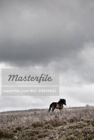 England, Devon, Exmoor National Park. Exmoor pony under dramatic sky.