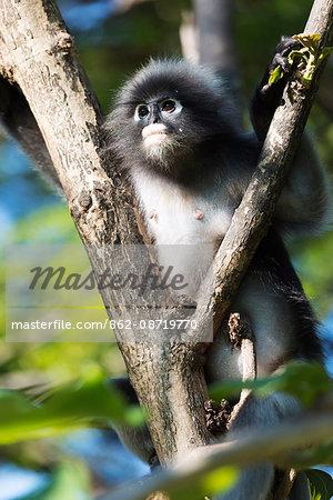South East Asia, Thailand, Prachuap Kiri Khan, dusky langur monkey, Trachypithecus obscurus