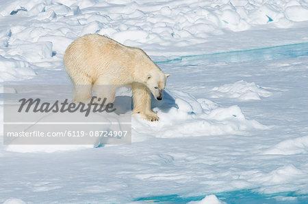 Male polar bear (Ursus maritimus) walking over pack ice, Spitsbergen Island, Svalbard archipelago, Arctic, Norway, Scandinavia, Europe