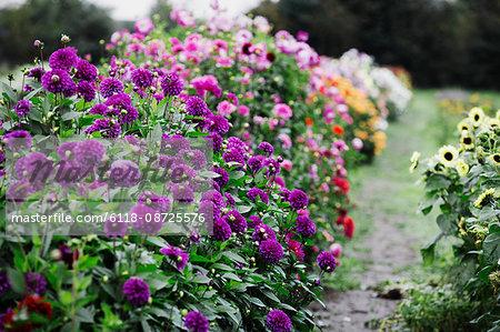 Summer flowering plants in an organic flower nursery. Dahlias in deep purple and pink colours.