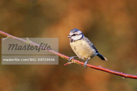 Blue tit (Cyanistes caeruleus) garden bird, perched on a dogwood branch in the autumn, Cheshire, England, United Kingdom, Europe