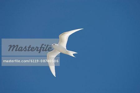White tern, Bird Island, Tikehau, Tuamotu Archipelago, French Polynesia, Pacific Islands, Pacific