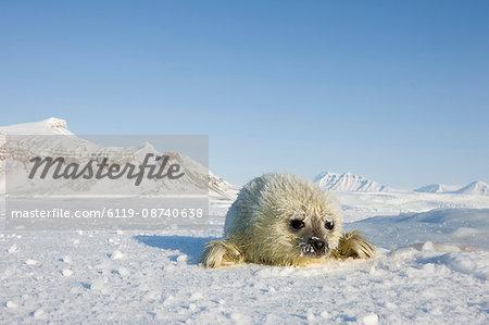Ringed seal (Phoca hispida) pup, Billefjord, Svalbard, Spitzbergen, Arctic, Norway, Scandinavia, Europe