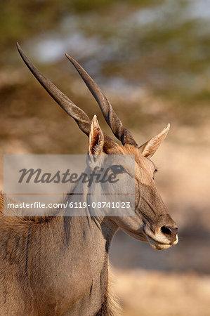 Common eland (Taurotragus oryx), Kgalagadi Transfrontier Park, encompassing the former Kalahari Gemsbok National Park, South Africa, Africa