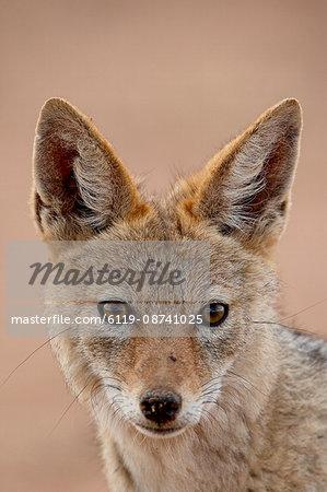 Black-backed jackal (Silver-backed jackal) (Canis mesomelas), Kgalagadi Transfrontier Park, encompassing the former Kalahari Gemsbok National Park, South Africa, Africa
