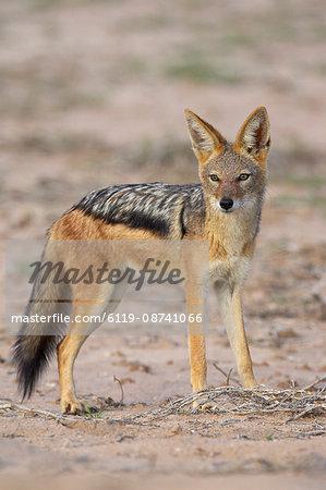 Black-backed jackal (silver-backed jackal) (Canis mesomelas), Kgalagadi Transfrontier Park, encompasing the former Kalahari Gemsbok National Park, South Africa, Africa