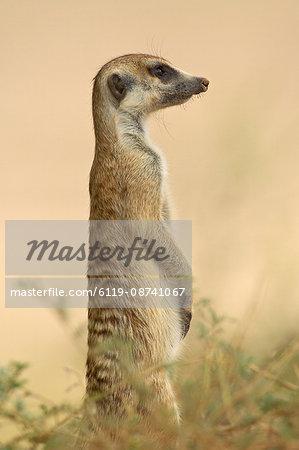 Meerkat (suricate) (Suricata suricatta), Kgalagadi Transfrontier Park, encompasing the former Kalahari Gemsbok National Park, South Africa, Africa