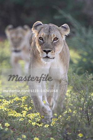 Lioness (Panthera leo) walking through yellow wildflowers, Kgalagadi Transfrontier Park, encompasing the former Kalahari Gemsbok National Park, South Africa, Africa