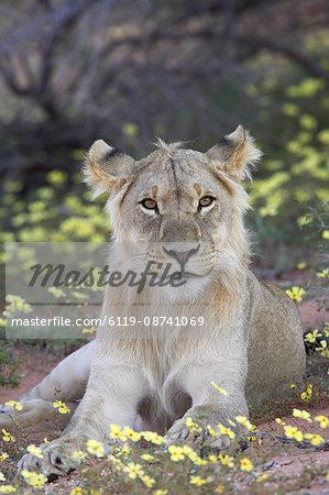 Young male lion (Panthera leo) resting among yellow wildflowers, Kgalagadi Transfrontier Park, encompasing the former Kalahari Gemsbok National Park, South Africa, Africa