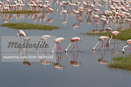 Lesser flamingos (Phoeniconaias minor) feeding in Lake Nakuru, Lake Nakuru National Park, Kenya, East Africa, Africa