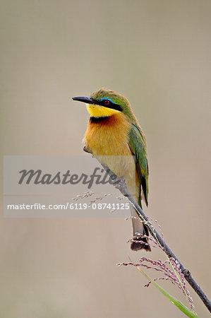 Little Bee-Eater (Merops pusillus), Masai Mara National Reserve, Kenya, East Africa, Africa