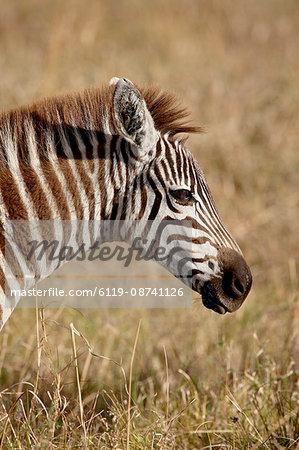 Young Grants Zebra (Plains Zebra) (Common Zebra) (Equus burchelli boehmi), Masai Mara National Reserve, Kenya, East Africa, Africa