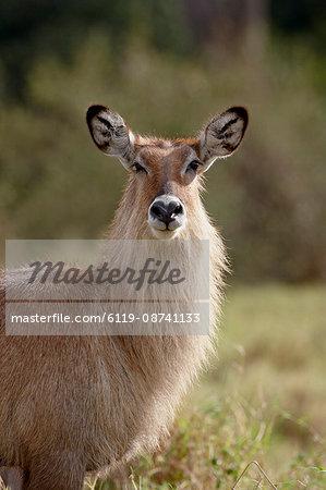Female Defassa Waterbuck (Kobus ellipsiprymnus defassa), Masai Mara National Reserve, Kenya, East Africa, Africa