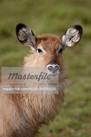 Young Defassa Waterbuck (Kobus ellipsiprymnus defassa), Masai Mara National Reserve, Kenya, East Africa, Africa