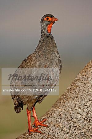 Red-Necked Spurfowl (Red-Necked Francolin) (Francolinus afer) (Pternistes afer), Masai Mara National Reserve, Kenya, East Africa, Africa