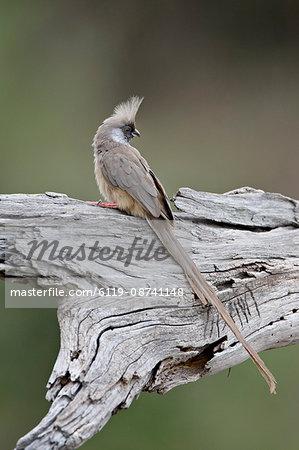 Speckled mousebird (Colius striatus), Masai Mara National Reserve, Kenya, East Africa, Africa