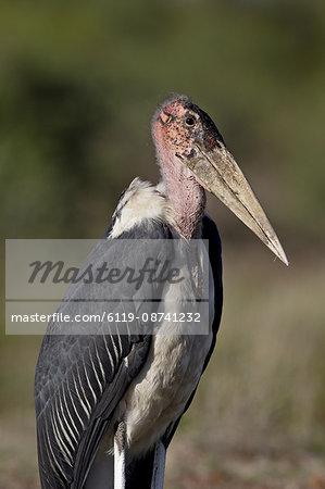 Marabou Stork (Leptoptilos crumeniferus), Kruger National Park, South Africa, Africa