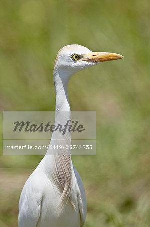 Cattle Egret (Bubulcus ibis), Kruger National Park, South Africa, Africa