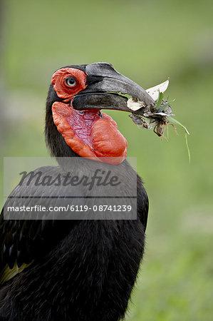 Southern Ground-Hornbill (Ground Hornbill) (Bucorvus leadbeateri) with prey, Kruger National Park, South Africa, Africa