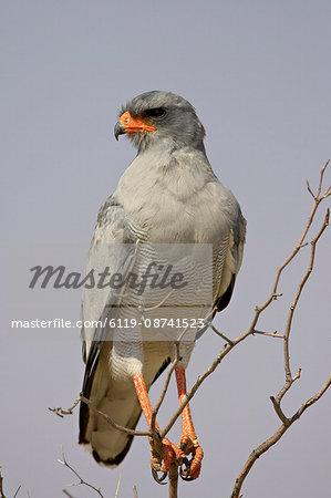 Pale chanting goshawk (Melierax canorus), Kgalagadi Transfrontier Park, encompassing the former Kalahari Gemsbok National Park, South Africa, Africa