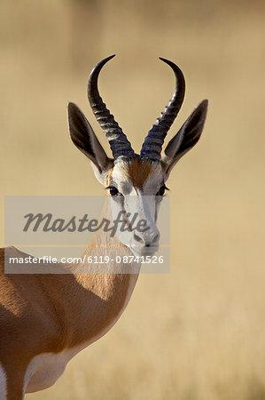 Male springbok (Antidorcas marsupialis), Kgalagadi Transfrontier Park, encompassing the former Kalahari Gemsbok National Park, South Africa, Africa