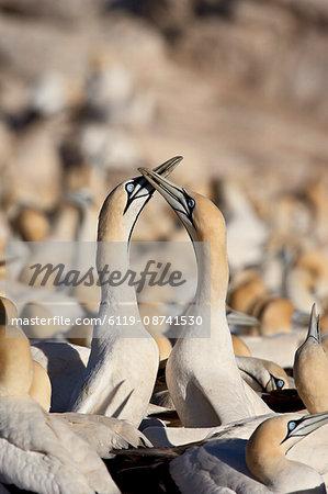 Cape gannet (Morus capensis) pair necking, Bird Island, Lambert's Bay, South Africa, Africa