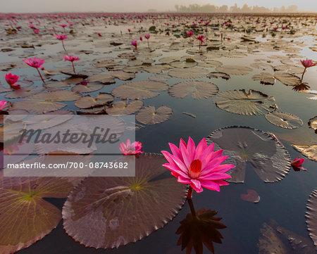 Pink water lily lake in Kumphawapi District, Thailand