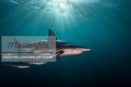 Oceanic Blacktip Shark (Carcharhinus Limbatus) swimming near surface of ocean, Aliwal Shoal, South Africa