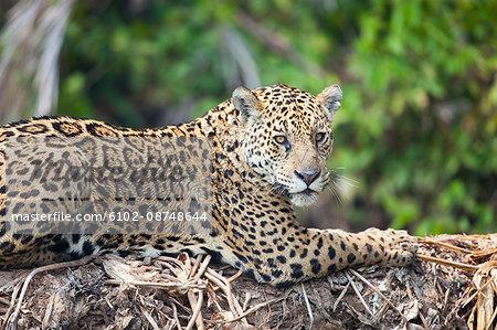 Jaguar resting on large tree trunk