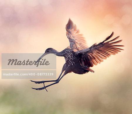 Limpkin Bird in Flight at Sunset