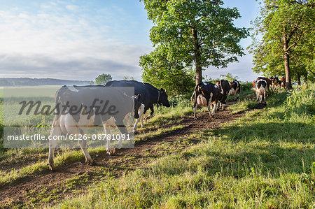 Sweden, Uppland, Grillby, Lindsunda, Cows (Bos taurus) walking in grassy path