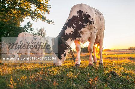 Sweden, Uppland, Grillby, Lindsunda, Cows (Bos taurus) grazing in field