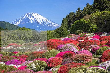 Mt. Fuji and the full bloom garden of Azalea, Hakone, Kanagawa Prefecture, Japan