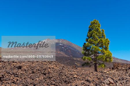 Pico del Teide Mountain with Pine Tree in Parque Nacional del Teide, Tenerife, Canary Islands, Spain