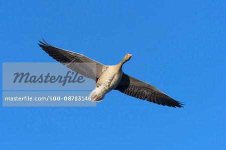 Greylag Goose (Anser anser) Flying, Hesse, Germany