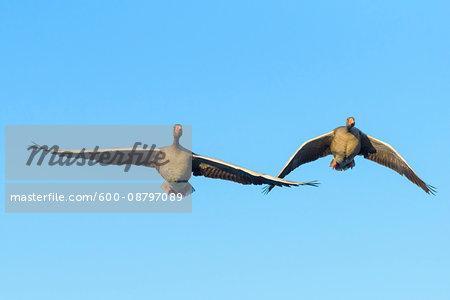 Greylag Geese (Anser anser) Flying, Hesse, Germany