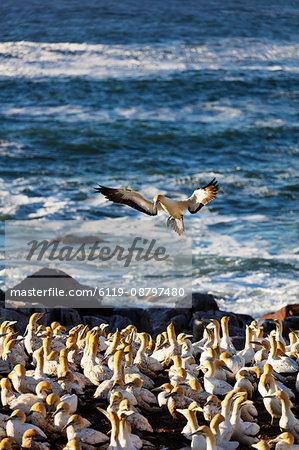 Cape gannet (Morus capensis), Lambert's Bay gannet colony, Western Cape, South Africa, Africa