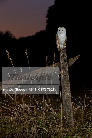 Barn owl perched on an old farm gate, Suffolk, England, United Kingdom, Europe