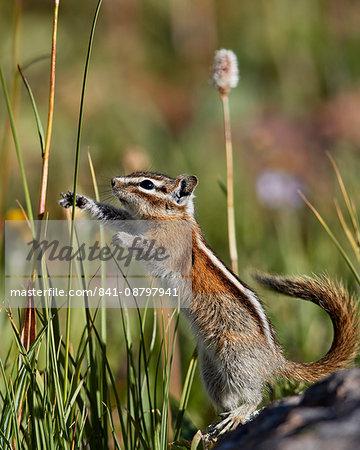 Least Chipmunk (Tamias minimus) (Neotamias minimus) (Eutamias minimus) standing and reaching, San Juan National Forest, Colorado, United States of America, North America
