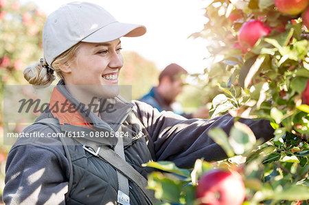 Smiling female farmer harvesting apples in orchard