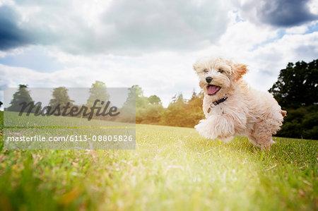 Happy dog running in park grass