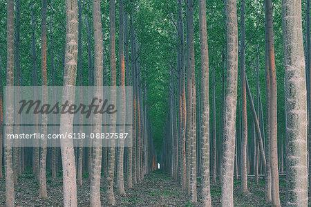 A plantation of poplar trees, a commercial tree farm. Tall straight trunks and vivid green tree canopy.
