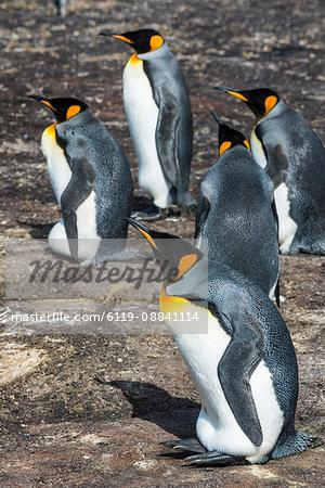 King penguin colony (Aptenodytes patagonicus), Saunders Island, Falklands, South America
