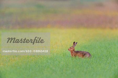 European Brown Hare (Lepus europaeus) in Grain Field, Gunzenhausen, Weissenburg-Gunzenhausen, Bavaria, Germany