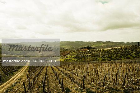 Empty vines in vineyard