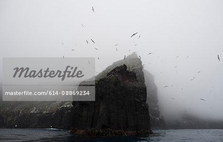 Rookery of albatross nesting on cliff