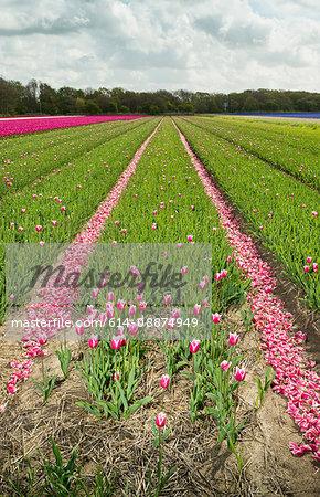 Rows of cut tulips, Egmond, Netherlands