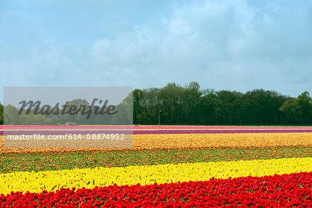 Multi colored tulip fields, Egmond, Netherlands