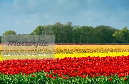 Red and yellow tulip fields, Egmond, Netherlands